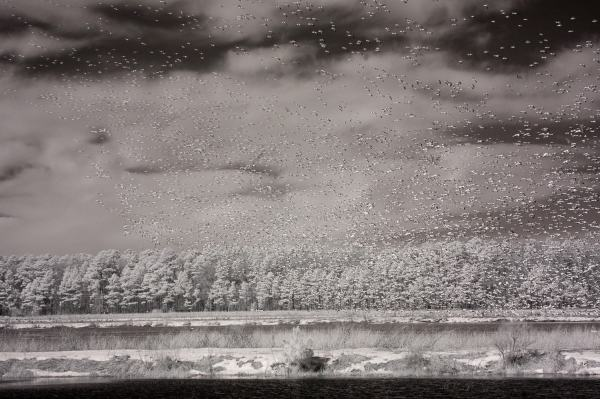 Snow Geese On Blackwater Refuge, Maryland | black & white infrared photography |