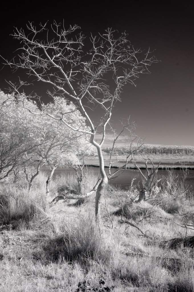 Tilghman Island Tree | black and white photography print by Jacqueline LaRocca
