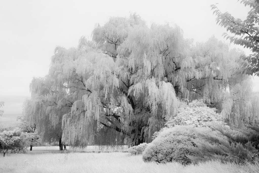 Tilghman Island Willow Trees-fine-art infrared black and white photography by Jacqueline LaRocca