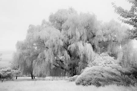 Tilghman Island Willow Trees, Maryland fine art infrared black and white photography by Jacqueline LaRoccadInfrared Black and White Photography by Jacqueline LaRocca
