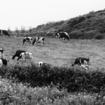 Grazing Cows, Cork, Ireland fine art infrared black and white photography by Jacqueline LaRocca