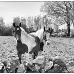 Irish Horses of County Galway, Ireland fine art infrared black and white photography by Jacqueline larocca